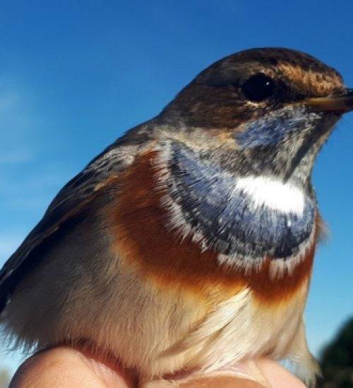 Scientific ringing of birds