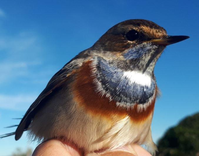 Anellament científic d'ocells