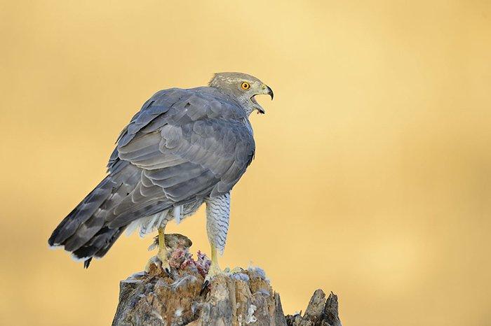 Fotografia de rapinyaires amb La Sabina – BirdPhotoTours