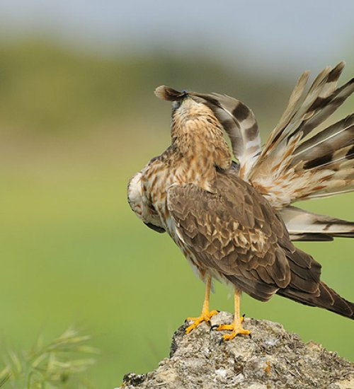 Photograph the last steppe birds of Catalonia!